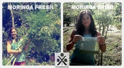 Jodi making moringa power from fresh leaves in Costa Rica