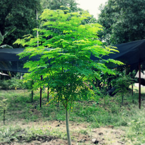 Superfood Moringa Tree growing in Costa Rica