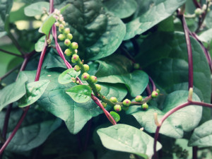 Red malabar vine spinach