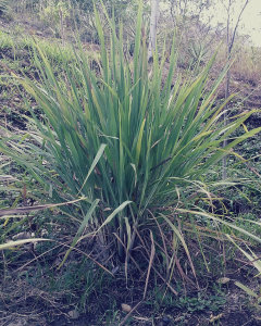 Cymbopogon, Lemon Grass