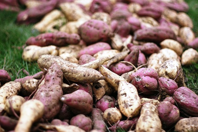 Camotes – Sweet Potatoes of Central America