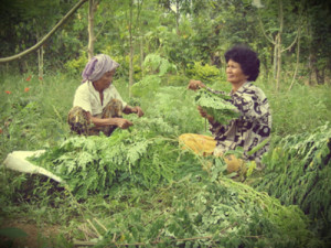 women in Cambodia harvesting moringa
