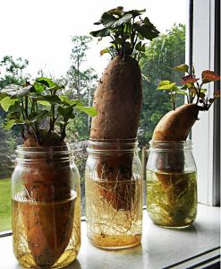 Camotes or Sweet potatoes rooting in water