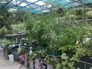 Aquaponics food production this is our first IBC Aquaponics system in Costa Rica
