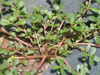 Purslane looks like a weed but it's tasty and full of vitamins and omega-3 fatty acids
