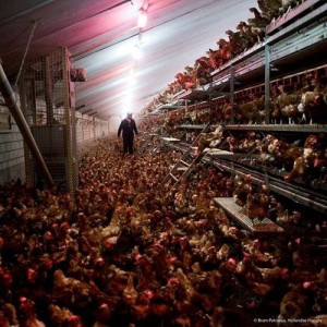 free range chickens packed into a warehouse with a little access door to the outside