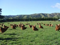 real free range hens grazing in pasture, eating bugs and enjoying the sun