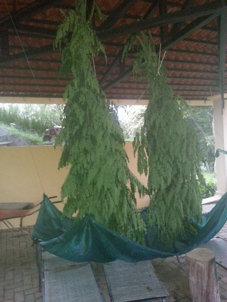 Pictures of moringa hanging in the shade to dry and make moringa powder