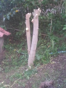 A picture of a moringa tree cut down at the trunk for harvest