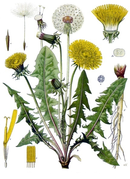 botanical drawing of dandelion Taraxacum officinale