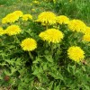 Dandelions – Don't Spray Them, Saute Them!