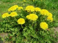 picture of tasty edible dandelions
