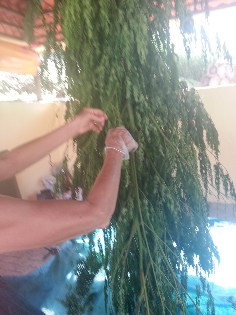 hanging and drying moringa to make morinnga powder