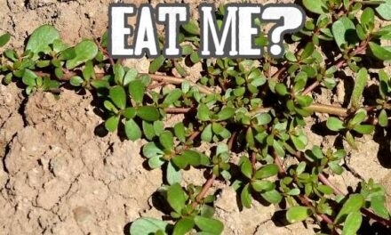 Purslane – A Nutrient Dense Weed With High Omega 3
